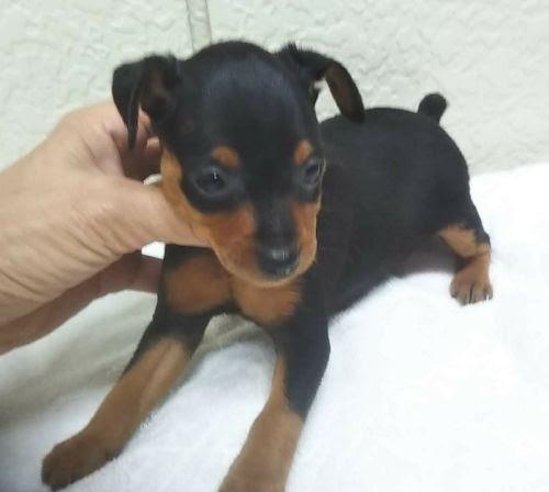 ミニチュアピンシャーの子犬(ID:1248811172)の1枚目の写真/更新日:2018-05-31