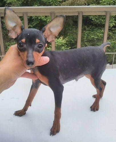 ミニチュアピンシャーの子犬(ID:1248811173)の1枚目の写真/更新日:2018-05-31