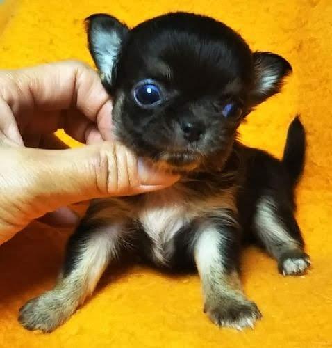 チワワ(ロング)の子犬(ID:1248811174)の2枚目の写真/更新日:2018-08-06