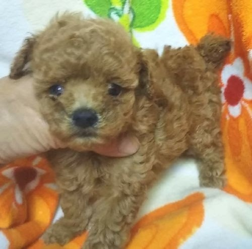 トイプードルの子犬(ID:1248811191)の1枚目の写真/更新日:2021-03-18