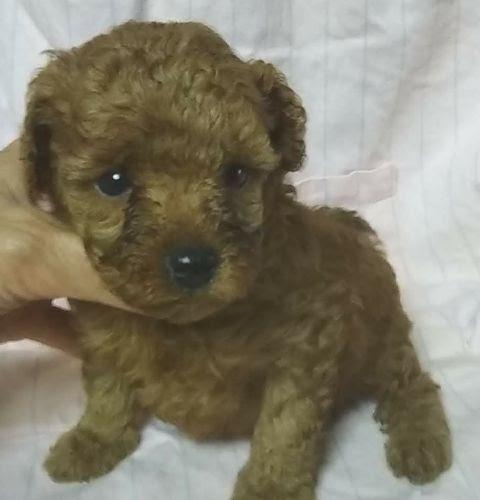 トイプードルの子犬(ID:1248811192)の1枚目の写真/更新日:2021-06-06