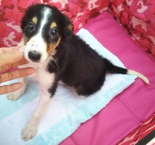 ボルゾイの子犬(ID:1248811195)の1枚目の写真/更新日:2021-04-01