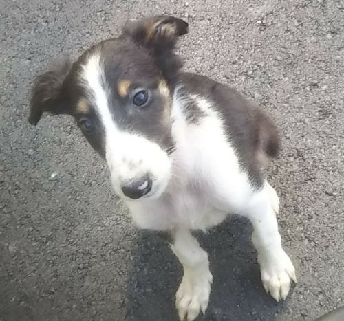 ボルゾイの子犬(ID:1248811198)の1枚目の写真/更新日:2021-04-12