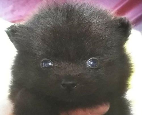 ポメラニアンの子犬(ID:1248811199)の1枚目の写真/更新日:2020-06-15
