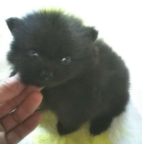 ポメラニアンの子犬(ID:1248811199)の2枚目の写真/更新日:2021-02-25