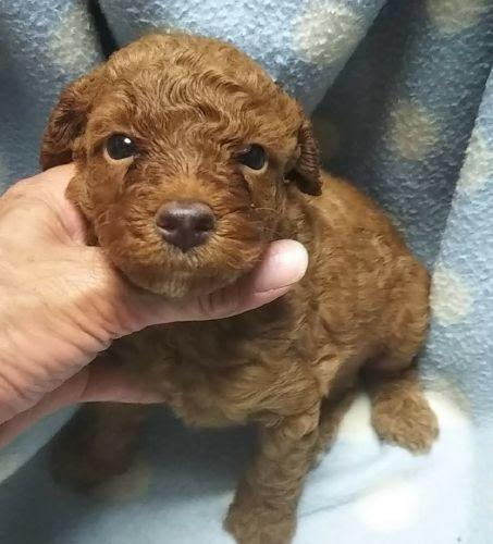 ミディアムプードルの子犬(ID:1248811200)の1枚目の写真/更新日:2020-08-21