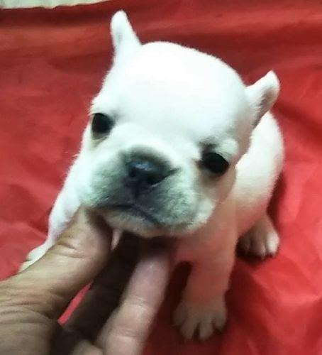 フレンチブルドッグの子犬(ID:1248811206)の1枚目の写真/更新日:2021-01-11