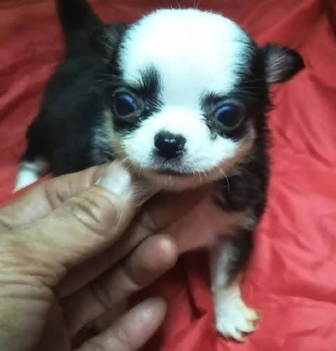 チワワ(ロング)の子犬(ID:1248811208)の1枚目の写真/更新日:2021-01-19