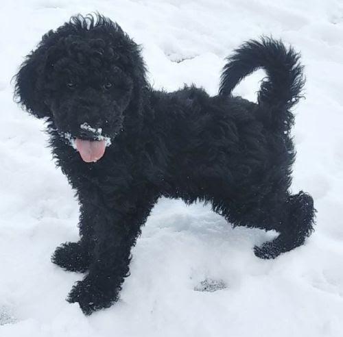 スタンダードプードルの子犬(ID:1248811210)の1枚目の写真/更新日:2021-04-01