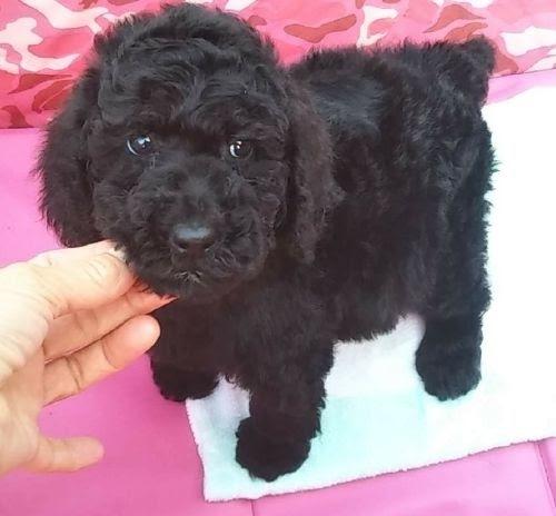 スタンダードプードルの子犬(ID:1248811211)の1枚目の写真/更新日:2021-04-01