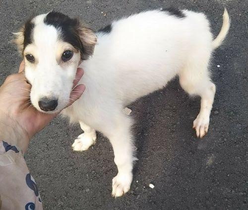 ボルゾイの子犬(ID:1248811213)の1枚目の写真/更新日:2021-04-19