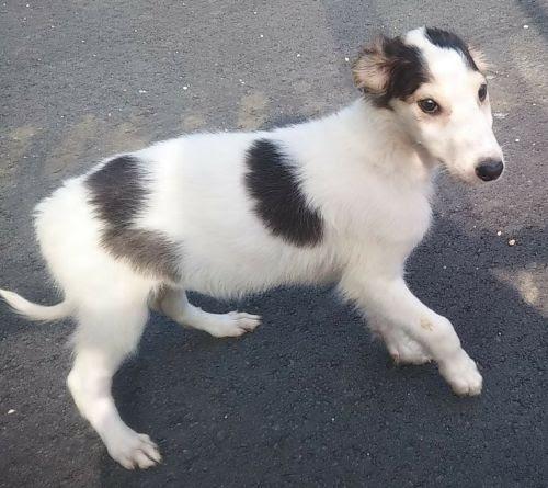 ボルゾイの子犬(ID:1248811213)の2枚目の写真/更新日:2021-04-19