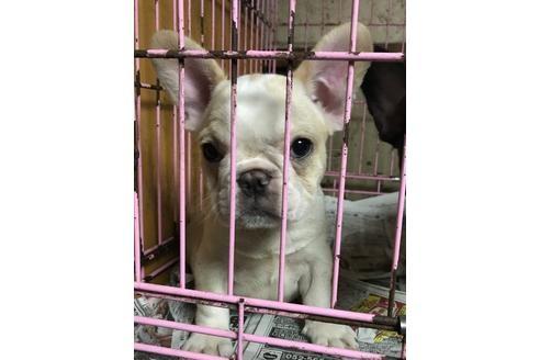 フレンチブルドッグの子犬(ID:1248911016)の2枚目の写真/更新日:2018-11-12