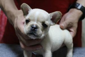 フレンチブルドッグの子犬(ID:1248911157)の1枚目の写真/更新日:2016-05-19