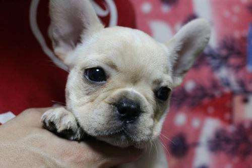 フレンチブルドッグの子犬(ID:1248911159)の1枚目の写真/更新日:2016-05-20