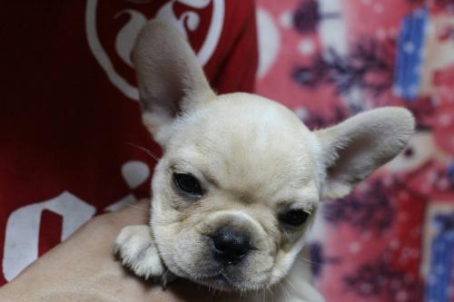 フレンチブルドッグの子犬(ID:1248911159)の2枚目の写真/更新日:2016-05-20