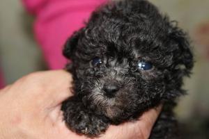 トイプードルの子犬(ID:1248911160)の1枚目の写真/更新日:2016-05-27