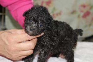 トイプードルの子犬(ID:1248911160)の2枚目の写真/更新日:2016-05-27