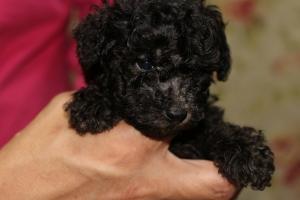 トイプードルの子犬(ID:1248911161)の1枚目の写真/更新日:2016-05-27