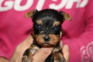 ヨークシャーテリアの子犬(ID:1248911163)の1枚目の写真/更新日:2016-05-27