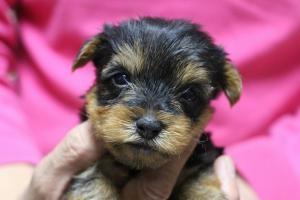 ヨークシャーテリアの子犬(ID:1248911164)の1枚目の写真/更新日:2016-05-27