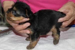 ヨークシャーテリアの子犬(ID:1248911164)の2枚目の写真/更新日:2016-05-27