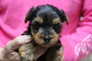 ヨークシャーテリアの子犬(ID:1248911165)の1枚目の写真/更新日:2016-05-27