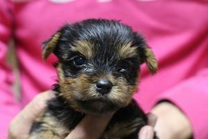 ヨークシャーテリアの子犬(ID:1248911166)の1枚目の写真/更新日:2016-05-27