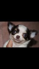 チワワ(ロング)の子犬(ID:1248911167)の1枚目の写真/更新日:2016-06-20