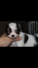 チワワ(ロング)の子犬(ID:1248911167)の2枚目の写真/更新日:2016-06-20
