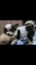チワワ(ロング)の子犬(ID:1248911167)の3枚目の写真/更新日:2016-06-20