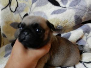 パグの子犬(ID:1248911177)の1枚目の写真/更新日:2016-09-20