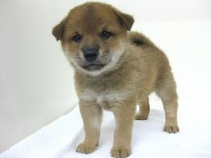 柴犬の子犬(ID:1248911182)の1枚目の写真/更新日:2016-09-23
