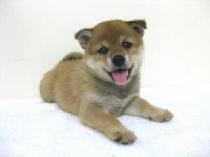 柴犬の子犬(ID:1248911183)の1枚目の写真/更新日:2016-09-23