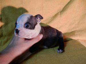 ボストンテリアの子犬(ID:1248911187)の2枚目の写真/更新日:2016-11-01