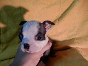 ボストンテリアの子犬(ID:1248911187)の3枚目の写真/更新日:2016-11-01