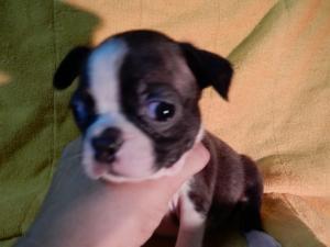 ボストンテリアの子犬(ID:1248911188)の1枚目の写真/更新日:2016-11-01