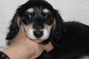 カニンヘンダックスフンド(スムース)の子犬(ID:1248911189)の1枚目の写真/更新日:2016-11-29