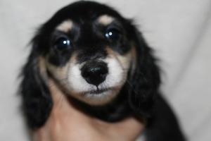 カニンヘンダックスフンド(スムース)の子犬(ID:1248911189)の2枚目の写真/更新日:2016-11-29