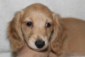 カニンヘンダックスフンド(スムース)の子犬(ID:1248911190)の1枚目の写真/更新日:2016-11-29