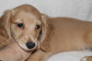 カニンヘンダックスフンド(スムース)の子犬(ID:1248911190)の2枚目の写真/更新日:2016-11-29