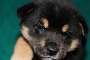 柴犬の子犬(ID:1248911191)の1枚目の写真/更新日:2016-12-06