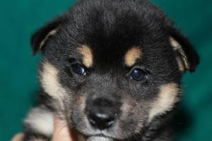 柴犬の子犬(ID:1248911192)の1枚目の写真/更新日:2016-12-06