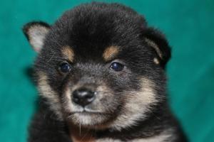 柴犬の子犬(ID:1248911193)の1枚目の写真/更新日:2016-12-06