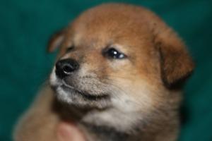 柴犬の子犬(ID:1248911194)の1枚目の写真/更新日:2016-12-06