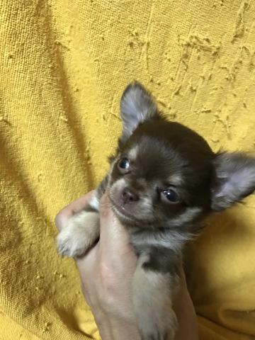チワワ(ロング)の子犬(ID:1248911195)の2枚目の写真/更新日:2017-03-17