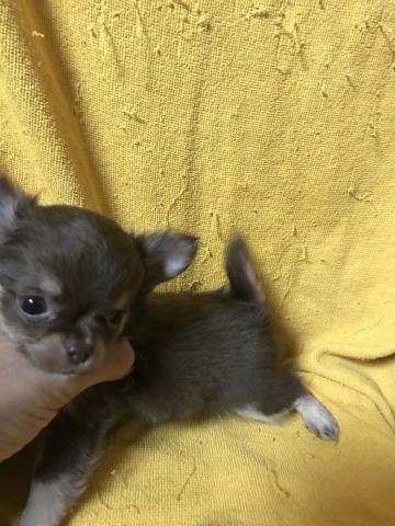 チワワ(ロング)の子犬(ID:1248911195)の3枚目の写真/更新日:2017-03-17
