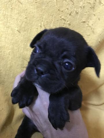 フレンチブルドッグの子犬(ID:1248911197)の1枚目の写真/更新日:2017-03-17