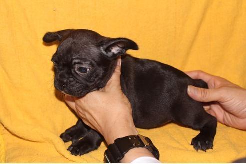 フレンチブルドッグの子犬(ID:1248911198)の1枚目の写真/更新日:2017-04-03