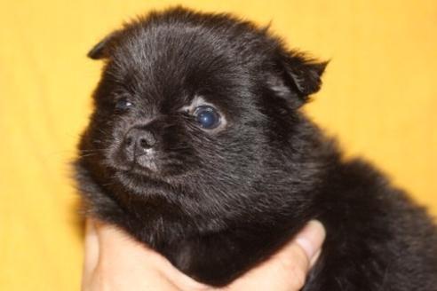 ポメラニアンの子犬(ID:1248911200)の1枚目の写真/更新日:2017-04-03